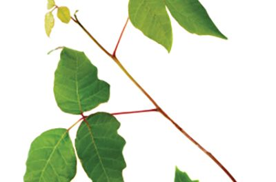 Poison ivy, oak and sumac can make you itch and moan