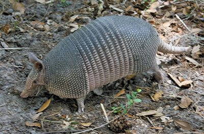 Armadillos and the spread of Hansen's Disease, or leprosy