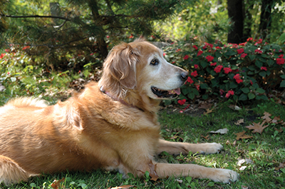 Managing minor health issues for aging dogs