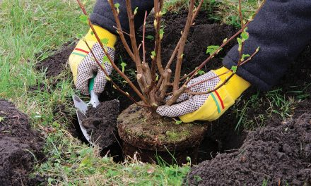 Plant trees, shrubs now to develop roots over winter
