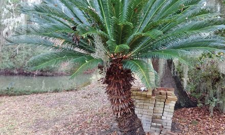 Dog owners: Be aware, stay clear of poisonous sago palm