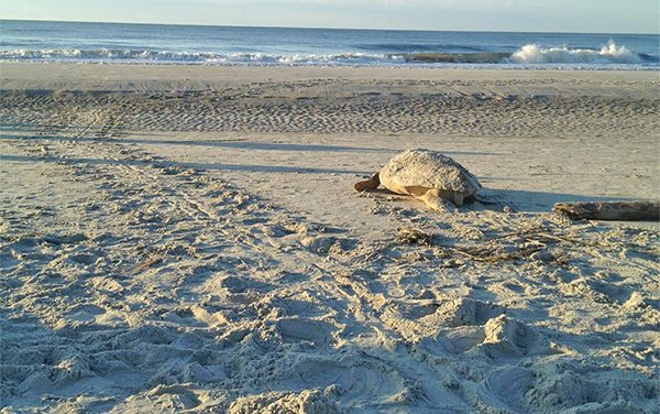 During sea turtle season, humans should be cautious, helpful