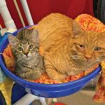 Shelter cat assumes role of 'Dad' for homeless kitten