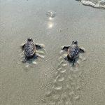 Final sea turtle hatchlings head to the ocean in October